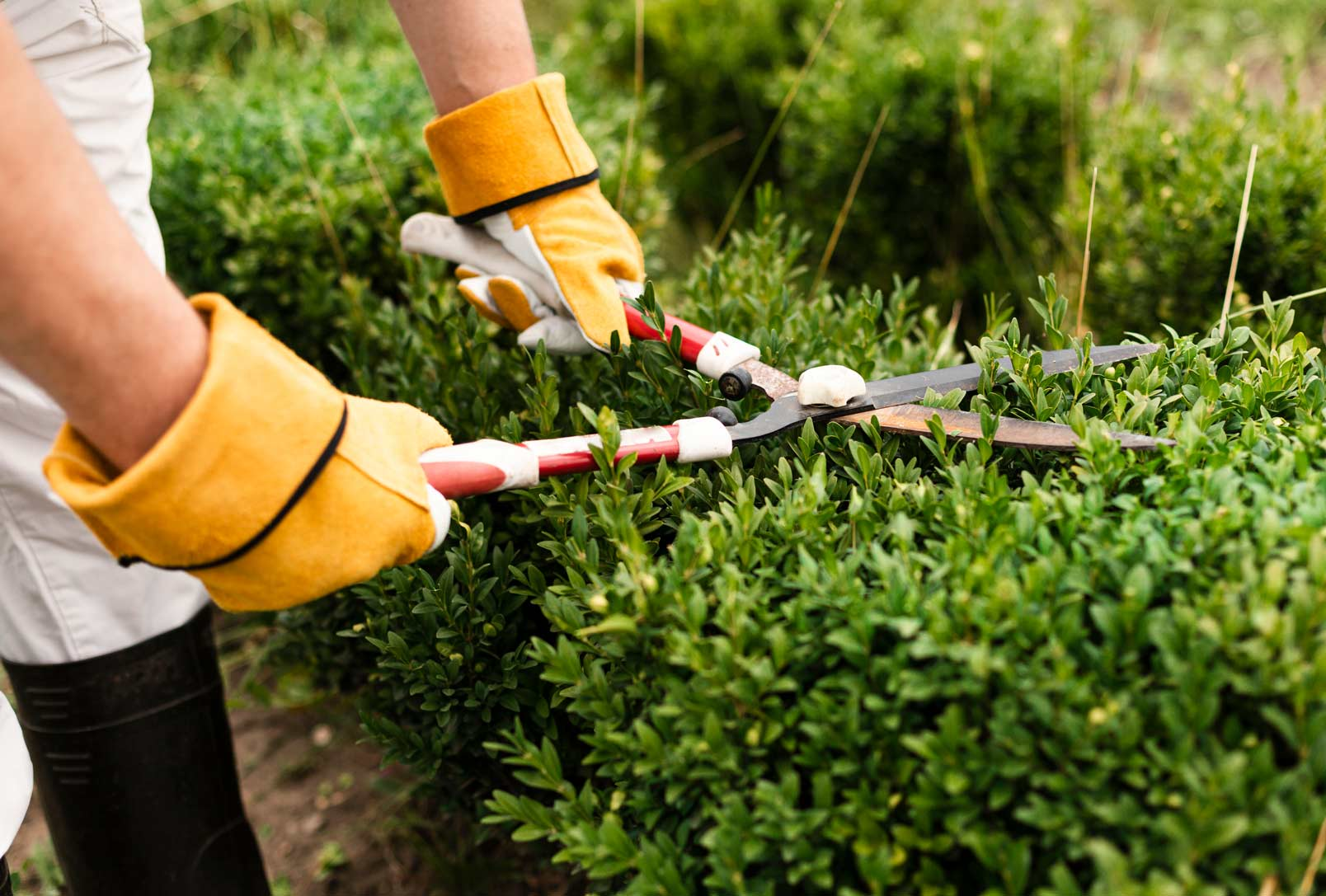 hedginng pruning bushes trees